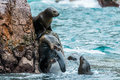Sea lions fighting for a rock in the peruvian coast at Ballestas Royalty Free Stock Photo
