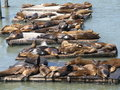 Sea Lions at Fisherman's Wharf in San Francisco Stock Image