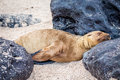Sea lions on Mann beach San Cristobal, Galapagos Islands Royalty Free Stock Photo