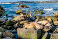 Sea Lions on the Pacific Ocean Coastline in California Royalty Free Stock Photo