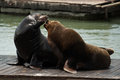 Sea Lions at Pier 39 Royalty Free Stock Images