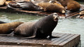 Sea Lions at Pier 39 Stock Photos
