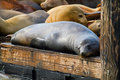 Sea Lions at Pier 39 in San Francisco Stock Photo