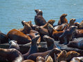 The sea lions of pier in san francisco california usa Stock Image