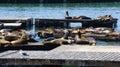 Sea lions, Pier 39, San Francisco, California Royalty Free Stock Photo