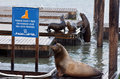 Sea lions play in Pier 39 at Fisherman's Wharf Royalty Free Stock Photo
