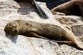 Sea lions in punta de choros chile isla damas la serena nov se up of sleepy seal by the pool Royalty Free Stock Image