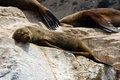 Sea lions in punta de choros chile isla damas la serena nov se up of sleepy seal by the pool Royalty Free Stock Photography