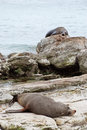 Sea lions resting on New Zealands shore Royalty Free Stock Photo