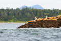 Sea lions on a rock in the pacific ocean british columbia canada Royalty Free Stock Photos