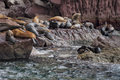 Sea lions seals relaxing in baja california lion while on rocks Stock Photo