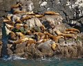 Sea Lions Sunning Themselves on Rocks Royalty Free Stock Images