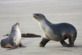 Sea lions two Royalty Free Stock Photo