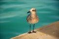 Sea mew Royalty Free Stock Photo