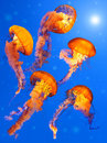 Sea Nettle Jellyfishes Stock Images