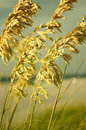 Sea Oats II Royalty Free Stock Photo