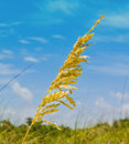 Sea oats a oat plant hold the dunes in place on florida s sandy beaches a natural dune builder Stock Photo