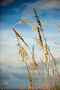 Sea Oats verticle Royalty Free Stock Photo