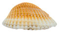 Sea orange, pearl shell, close up isolated, white background Royalty Free Stock Photo