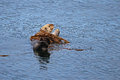 Sea otter in kelp bed a rolls a near seldovia alaska Stock Photos