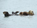 Title: Sea otter mother with baby and male, big sur, california, usa