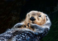 Sea Otter relaxing Royalty Free Stock Image