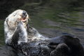 Sea otter Royalty Free Stock Photo