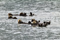 Sea otters sunbathing in valdez harbor Stock Photo