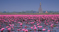 Sea of pink lotus,Nong Han, Udon Thani, Thailand (unseen in Thai Royalty Free Stock Photo