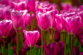 Sea of pink tulips Royalty Free Stock Photo