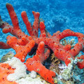 Sea red sponge with at the bottom of tropical sea Royalty Free Stock Photo