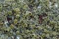 Sea Rock Crustaceans Royalty Free Stock Photo