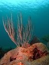 Sea Rod Coral Royalty Free Stock Photo
