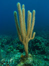 Sea rod a octocoral in the caribbean ocean Royalty Free Stock Photography