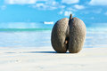 Sea's coconuts (coco de mer) on beach at Seychelles Royalty Free Stock Photo