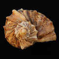Sea Shell On The Black Backing