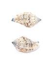 Sea shell isolated Royalty Free Stock Photo