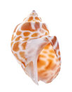 Sea shell isolated on white background Royalty Free Stock Photo
