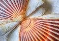 Sea Shell Scallop Fan Pattern Royalty Free Stock Photo