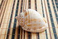 Sea shell, mollusks, gastropods Royalty Free Stock Photo