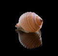 Sea shell with reflection on a black background Stock Images