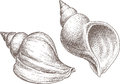 Sea shell vector image of the two big seashells Royalty Free Stock Photo