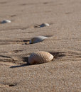 Sea shells lying in wet sand on the beach Stock Photography
