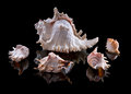 Sea shells with reflection on a black background Royalty Free Stock Photo