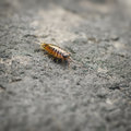 Sea slater sea louse on stone surface Royalty Free Stock Photography