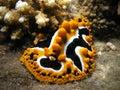 Sea Slug Royalty Free Stock Photography