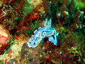 Sea slugs of the philippine sea surprising underwater world island mindoro slug Stock Photography