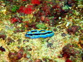 Sea slugs of the philippine sea surprising underwater world island mindoro slug Stock Photo