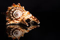 Sea spiral snail shell on black background Stock Images