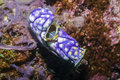 Sea Squirt Royalty Free Stock Photo